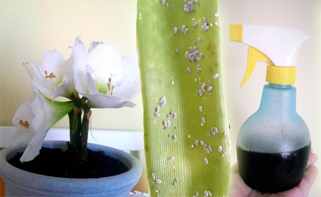 plantas cochonilha remédio caseiro